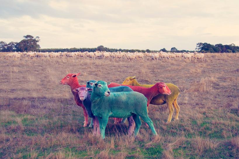 Фото овец в год овцы 2015. Фото № 2