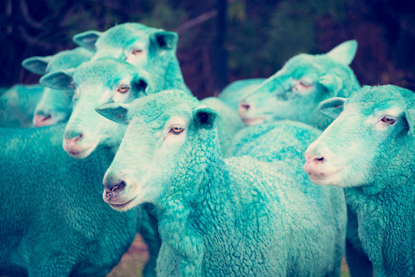 Фотографии овец. Новый год Овцы 2015 уже приближается