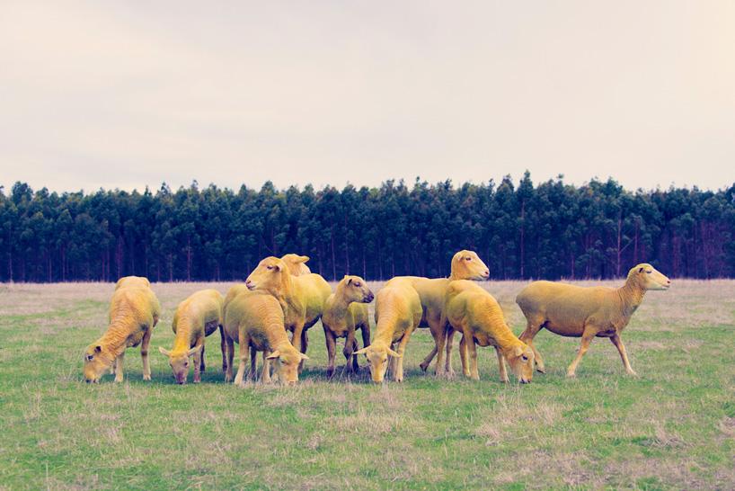 Фото овец в год овцы 2015. Фото № 9