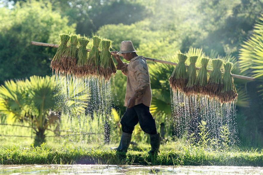 Рисовое поле. Фото № 22