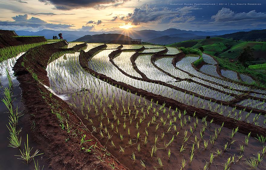 Рисовое поле. Фото № 6