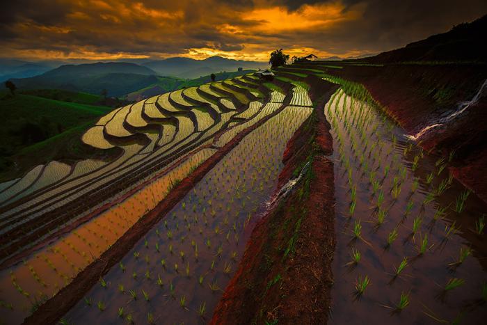 Рисовые поля на Дальнем Востоке. Красивые фотографии пейзажей