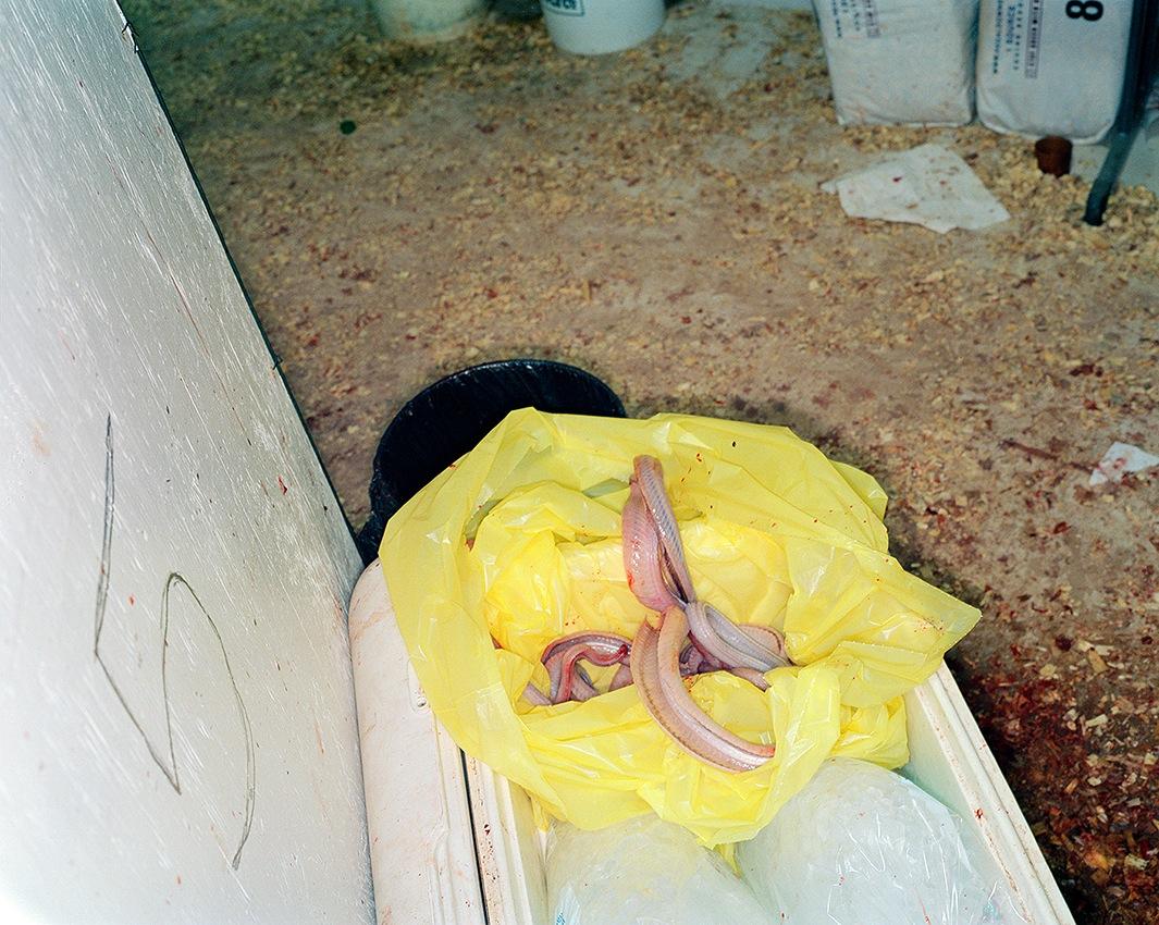 фото змей. гремучие змеи. Фото № 8