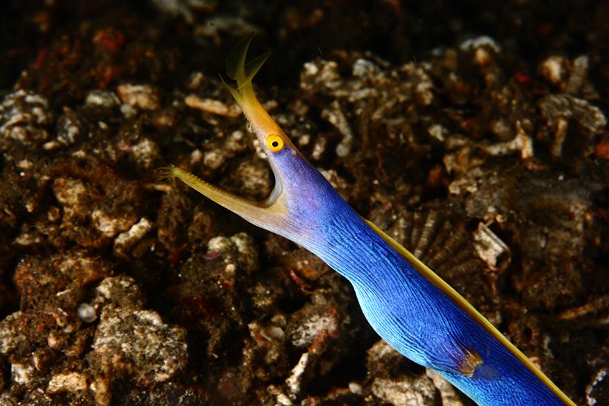 Удивительные существа. Подводный мир побережья Индонезии. Фото № 11