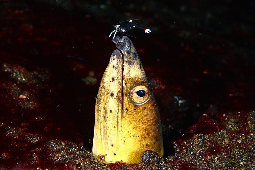 Удивительные существа. Подводный мир побережья Индонезии. Фото № 13