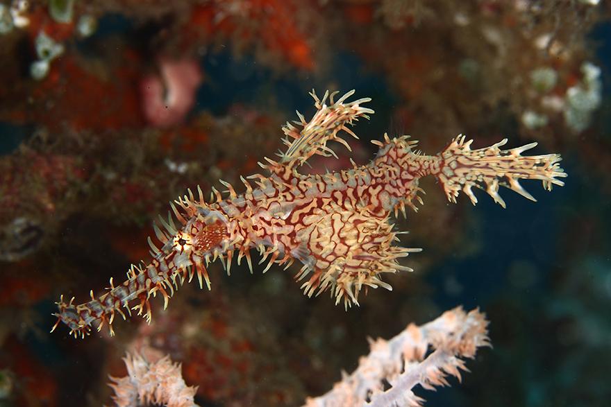 Удивительные существа. Подводный мир побережья Индонезии. Фото № 17