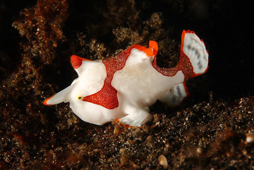 Удивительные существа. Подводный мир побережья Индонезии. Фото № 20