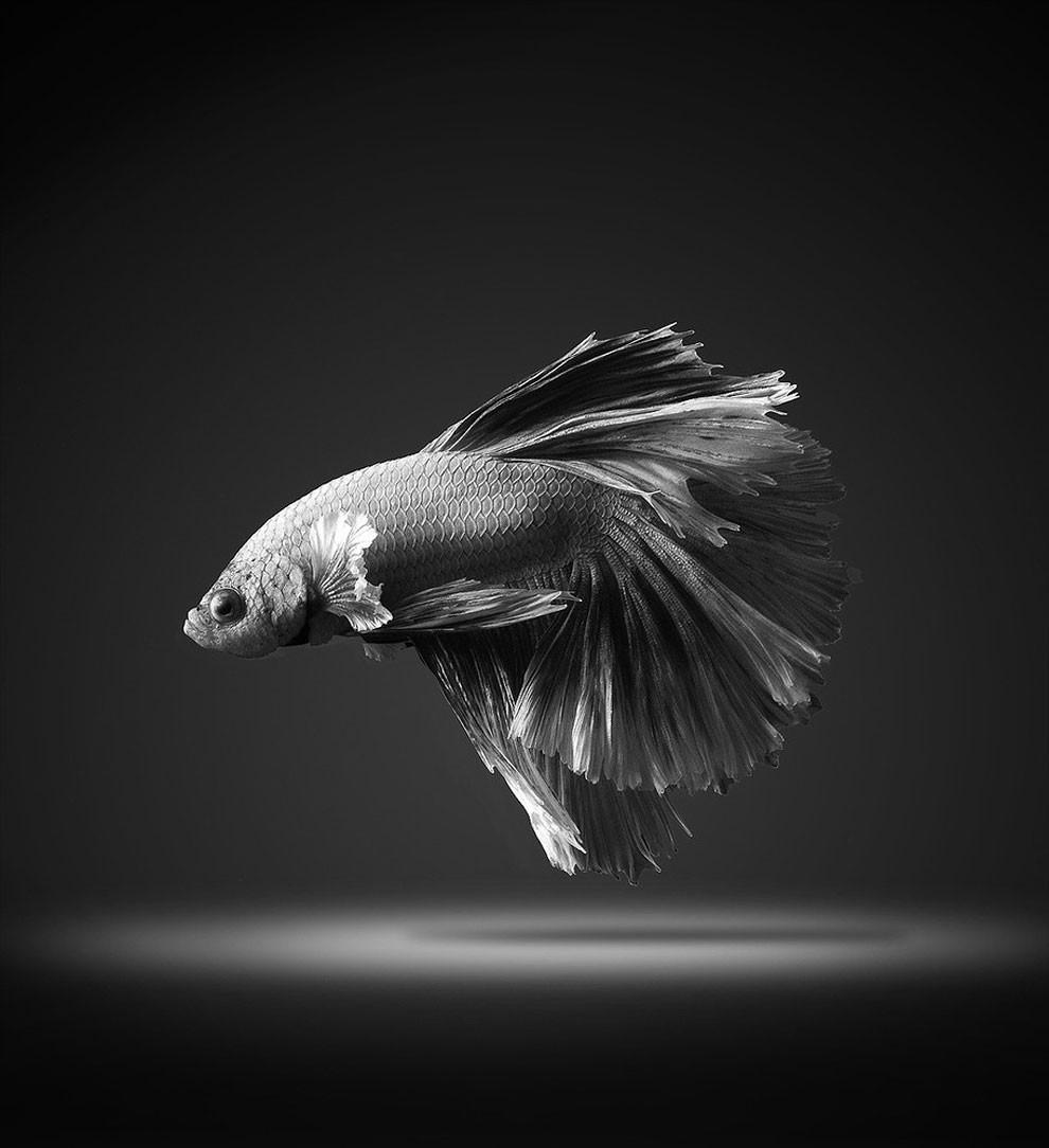 бойцовый петушок, сиамская рыбка. Фото № 10