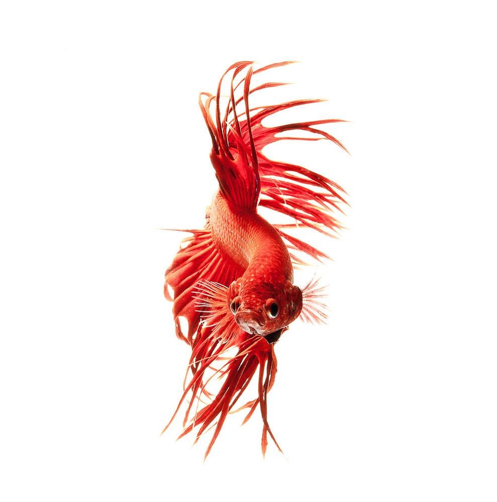 бойцовый петушок, сиамская рыбка. Фото № 11