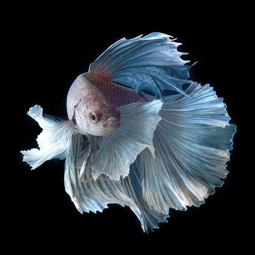 бойцовый петушок, сиамская рыбка. Фото № 12