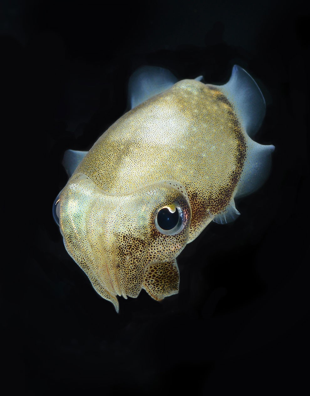 бойцовый петушок, сиамская рыбка. Фото № 13