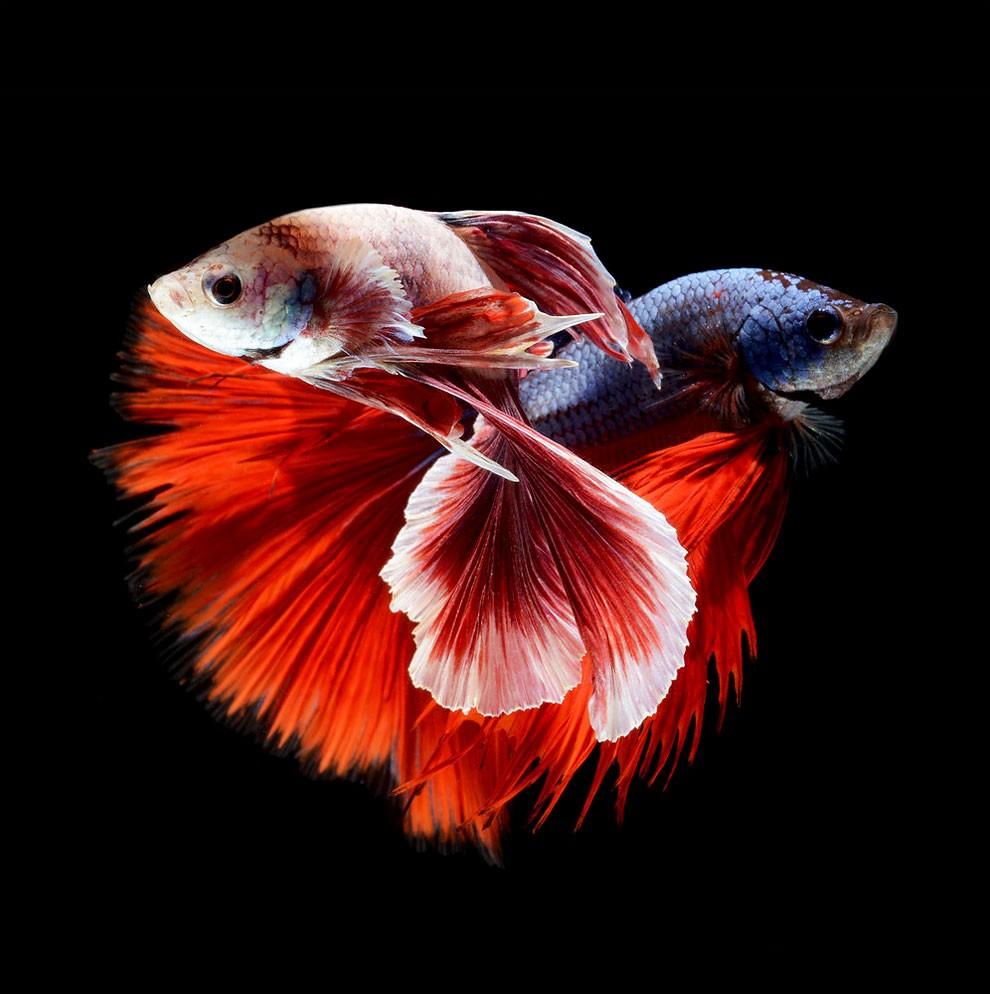 бойцовый петушок, сиамская рыбка. Фото № 14