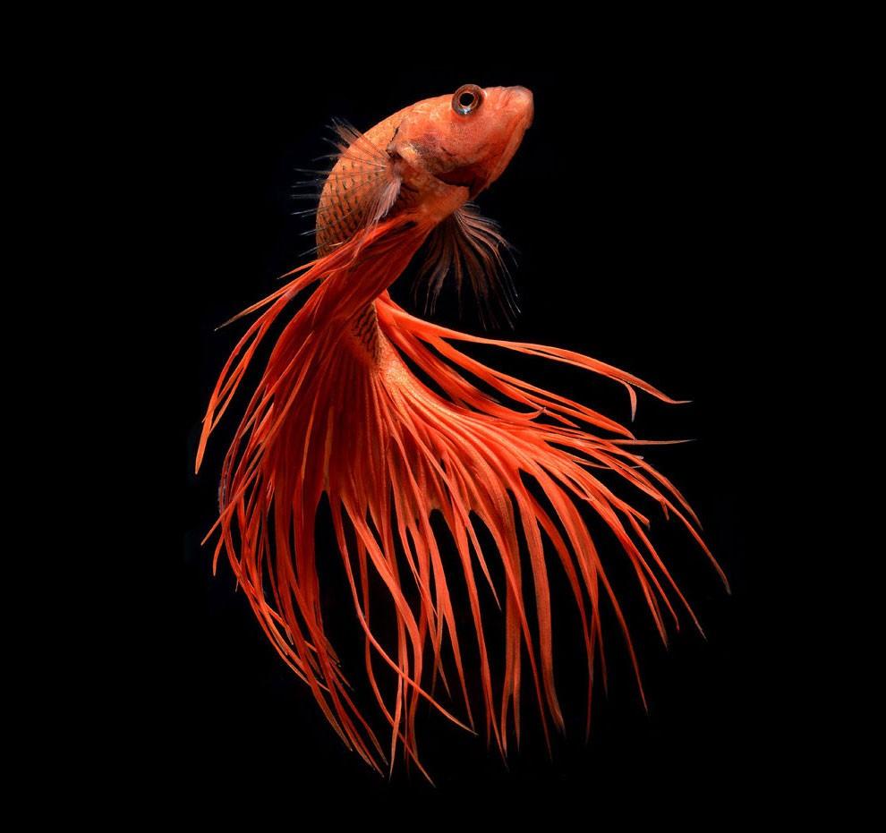 бойцовый петушок, сиамская рыбка. Фото № 15