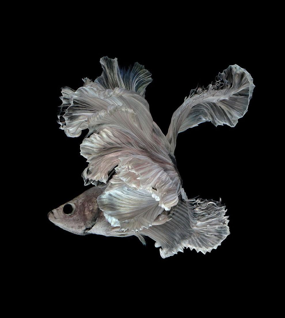 бойцовый петушок, сиамская рыбка. Фото № 16