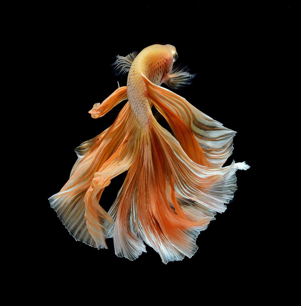 бойцовый петушок, сиамская рыбка. Фото № 17