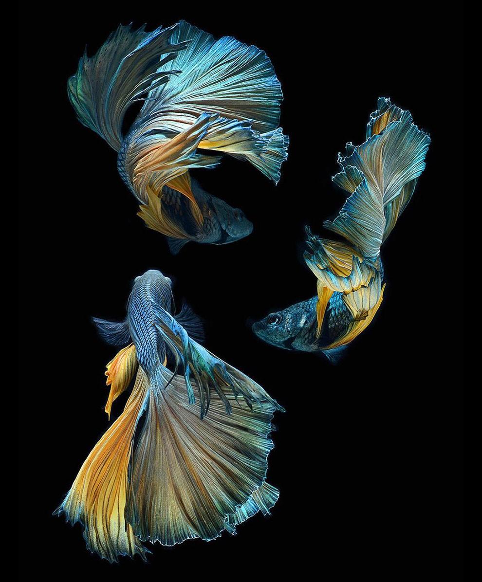 бойцовый петушок, сиамская рыбка. Фото № 18