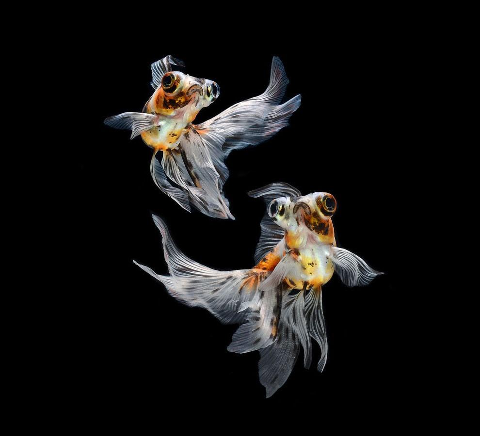 бойцовый петушок, сиамская рыбка. Фото № 19