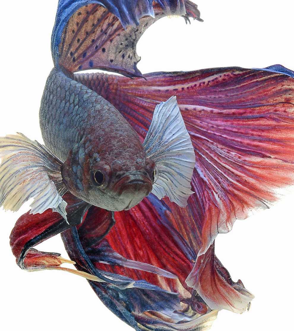 бойцовый петушок, сиамская рыбка. Фото № 2