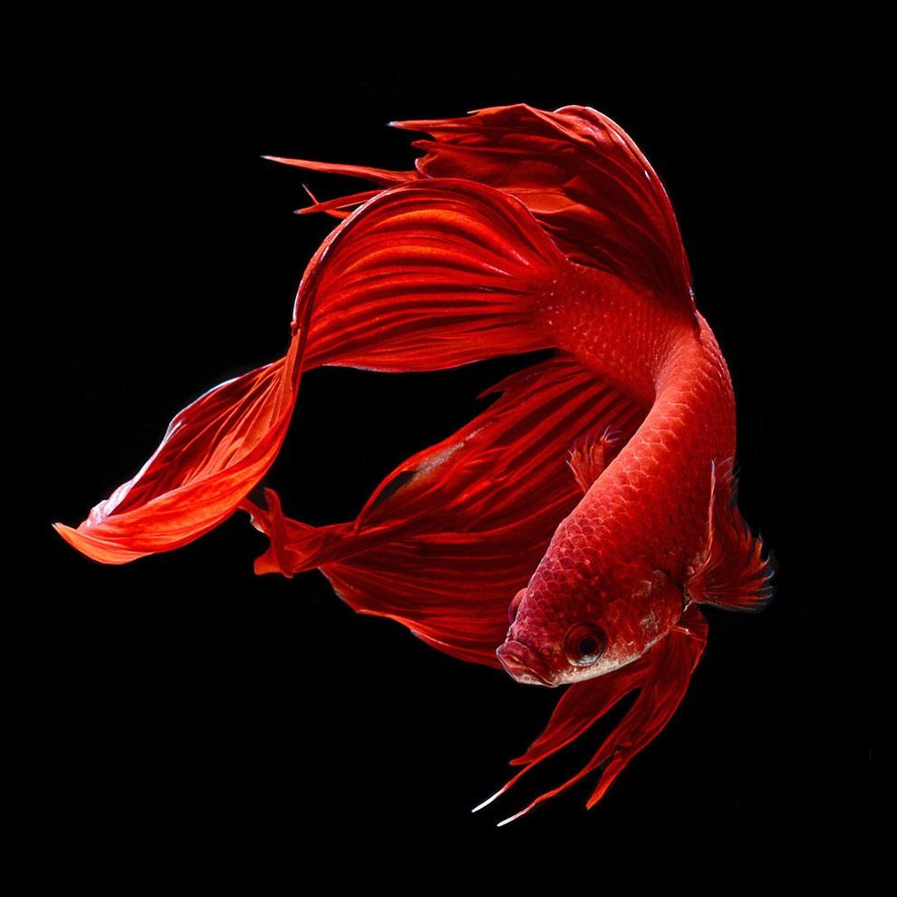 бойцовый петушок, сиамская рыбка. Фото № 3
