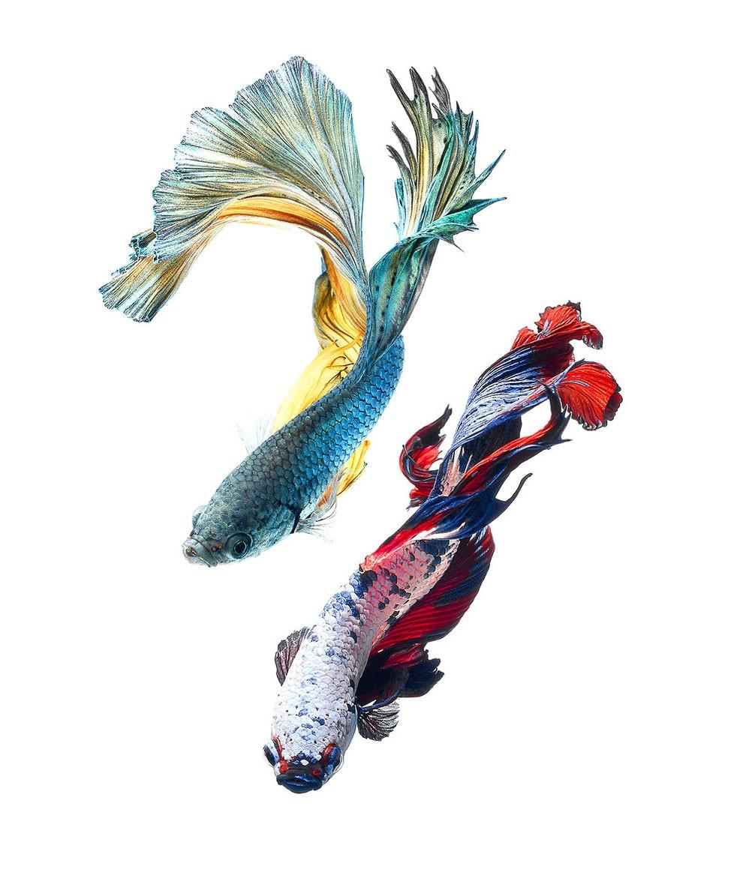 бойцовый петушок, сиамская рыбка. Фото № 4