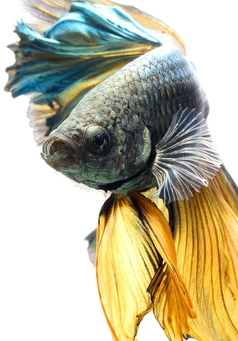 бойцовый петушок, сиамская рыбка. Фото № 5