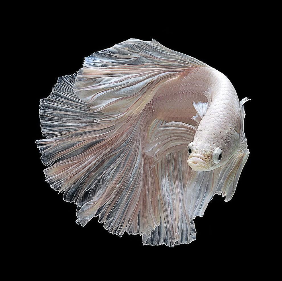 бойцовый петушок, сиамская рыбка. Фото № 6