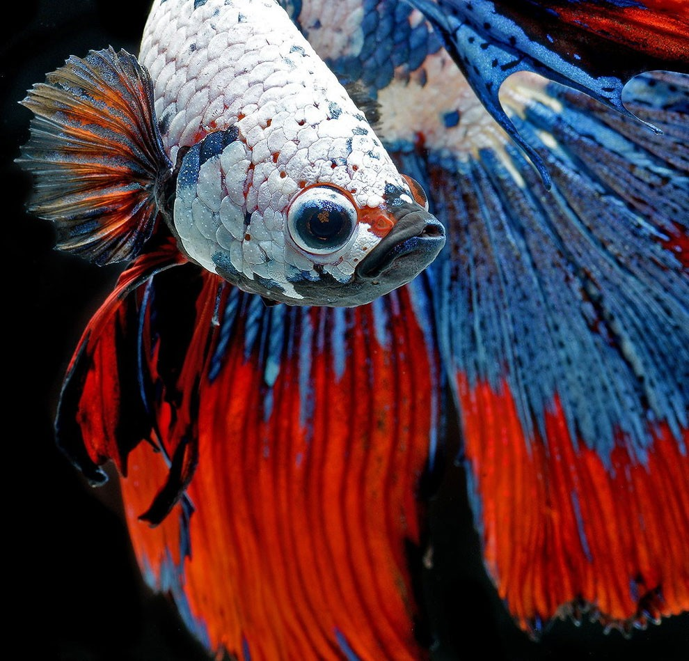 бойцовый петушок, сиамская рыбка. Фото № 7
