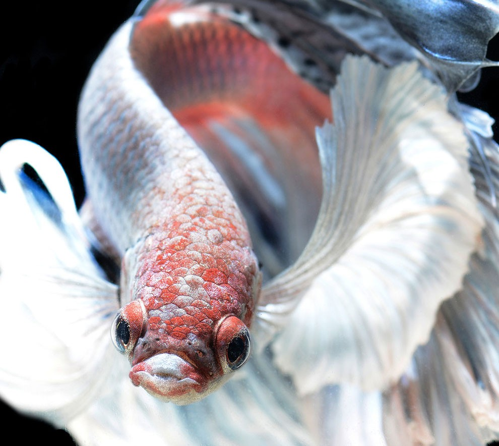 бойцовый петушок, сиамская рыбка. Фото № 8