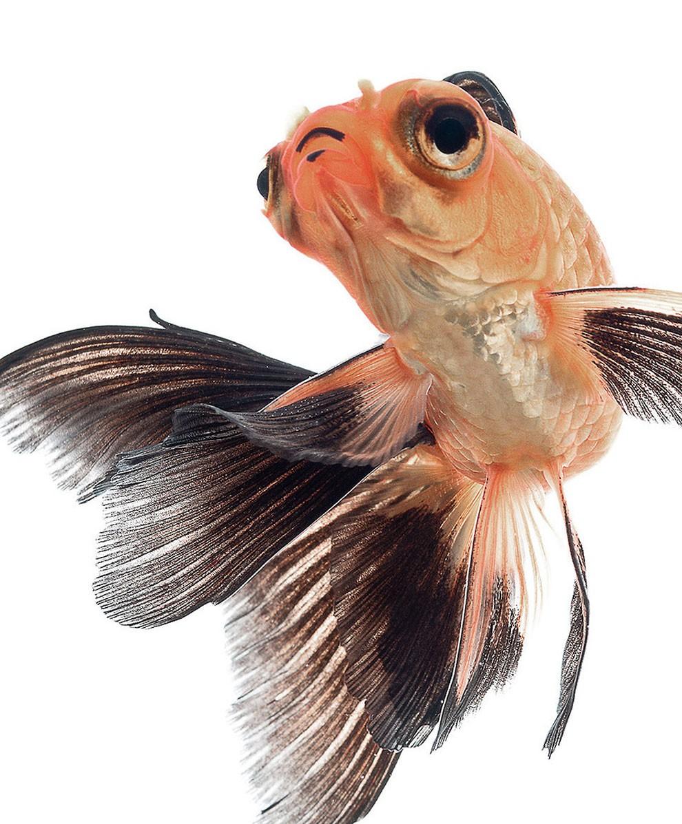 бойцовый петушок, сиамская рыбка. Фото № 9
