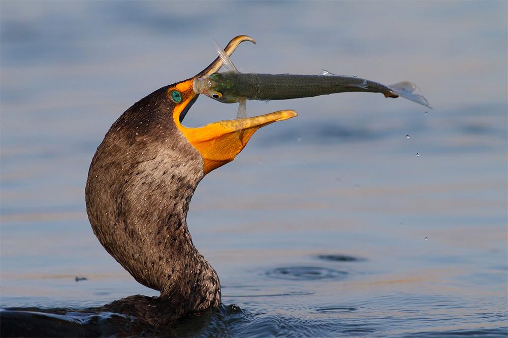 фотографии водоплавающих птиц. Фото № 1