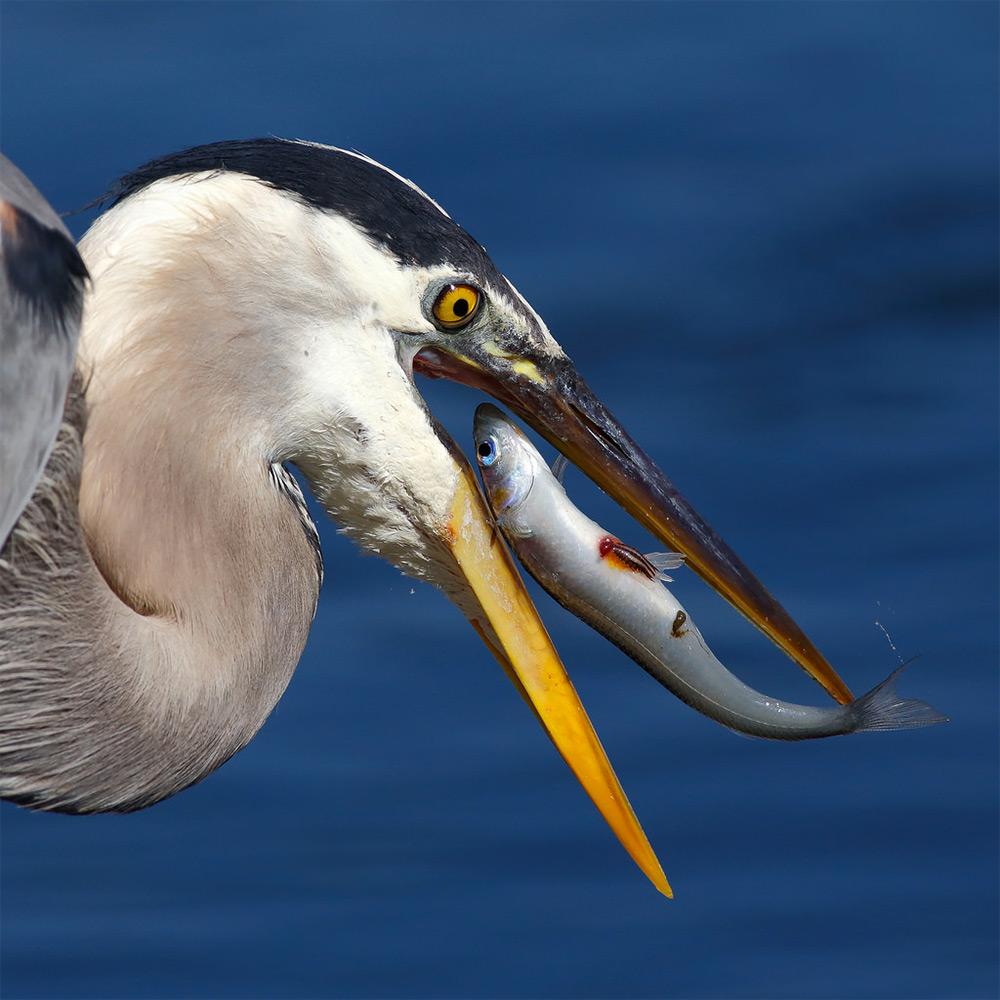 фотографии водоплавающих птиц. Фото № 4