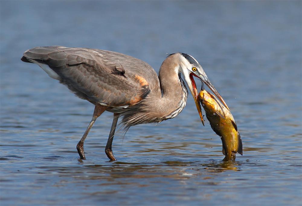 фотографии водоплавающих птиц. Фото № 5