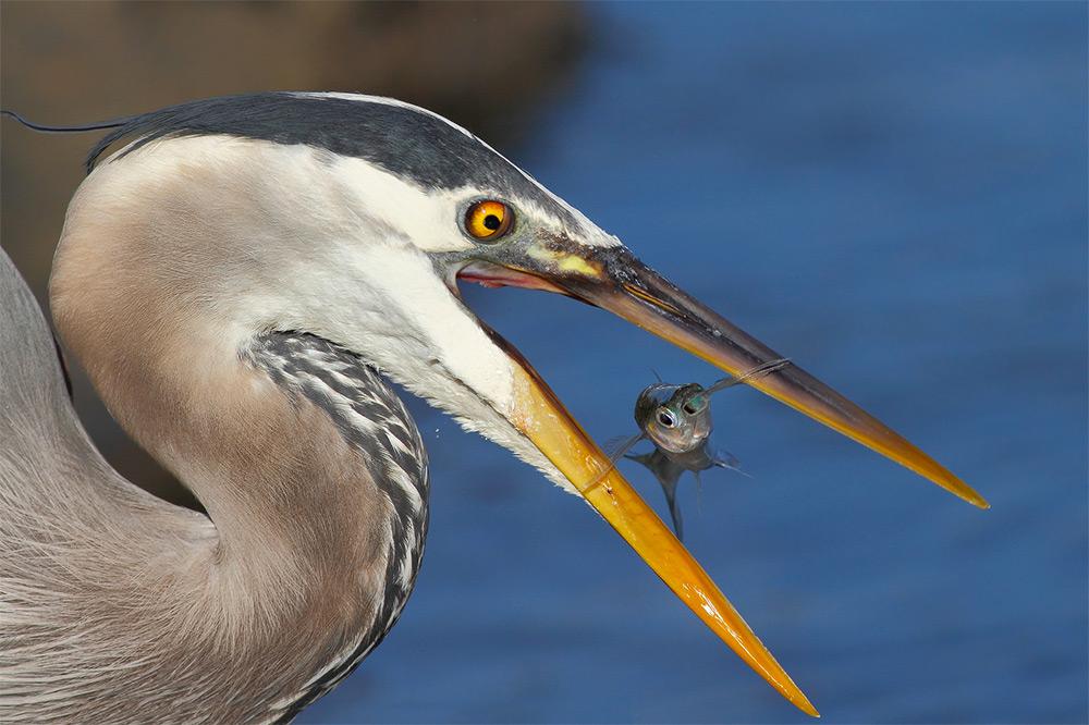 фотографии водоплавающих птиц. Фото № 7