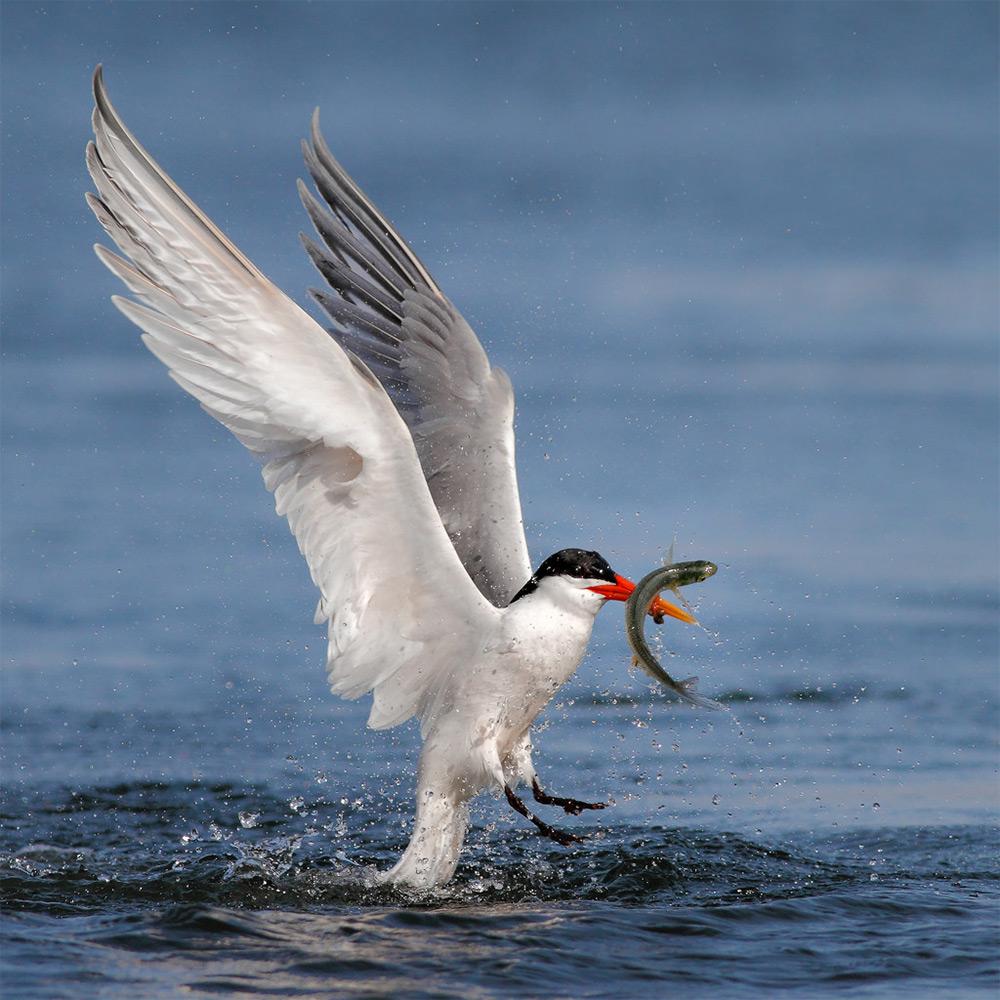 фотографии водоплавающих птиц. Фото № 9