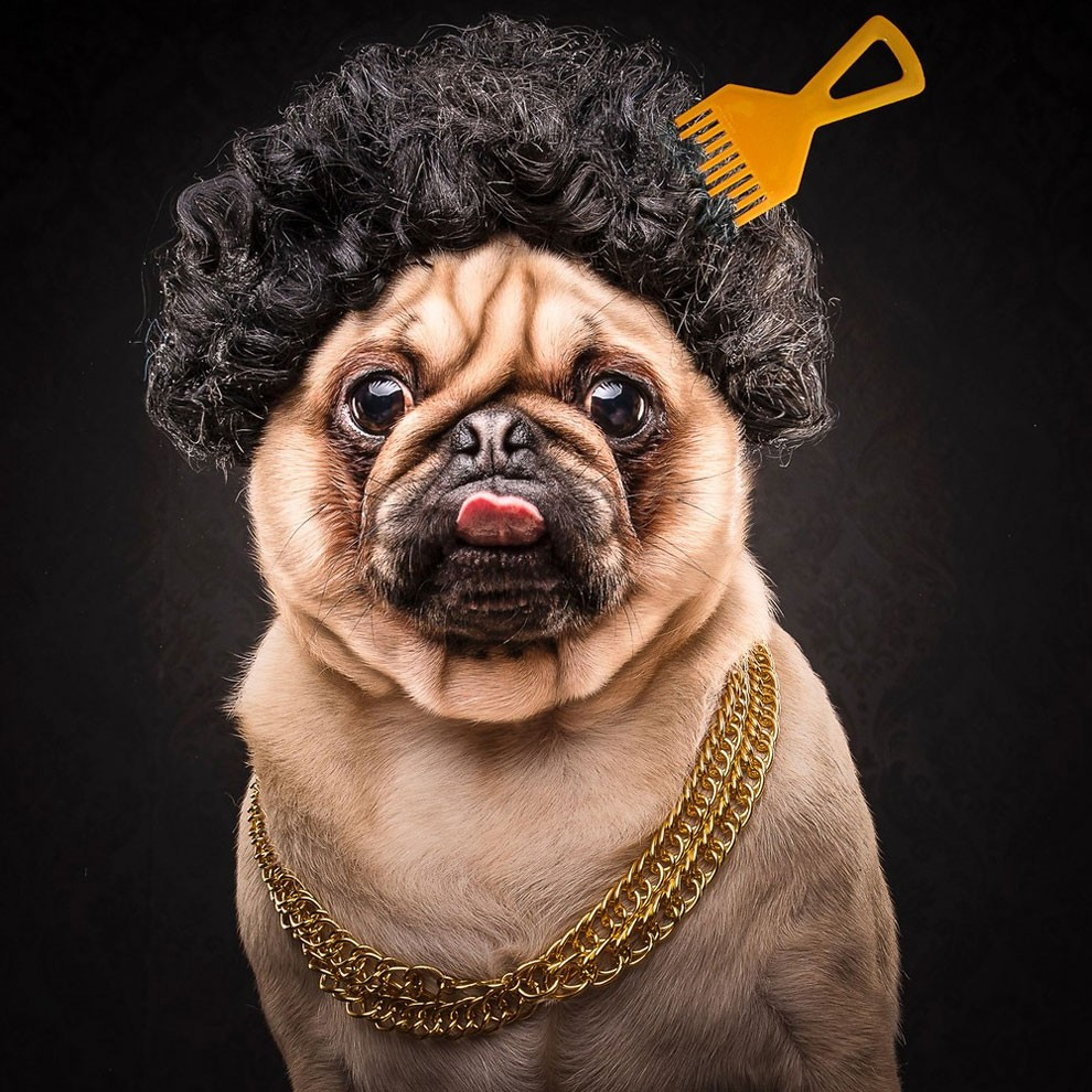 мопсы,фото, выставка собак-1