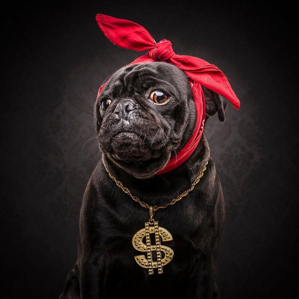 мопсы,фото, выставка собак-2