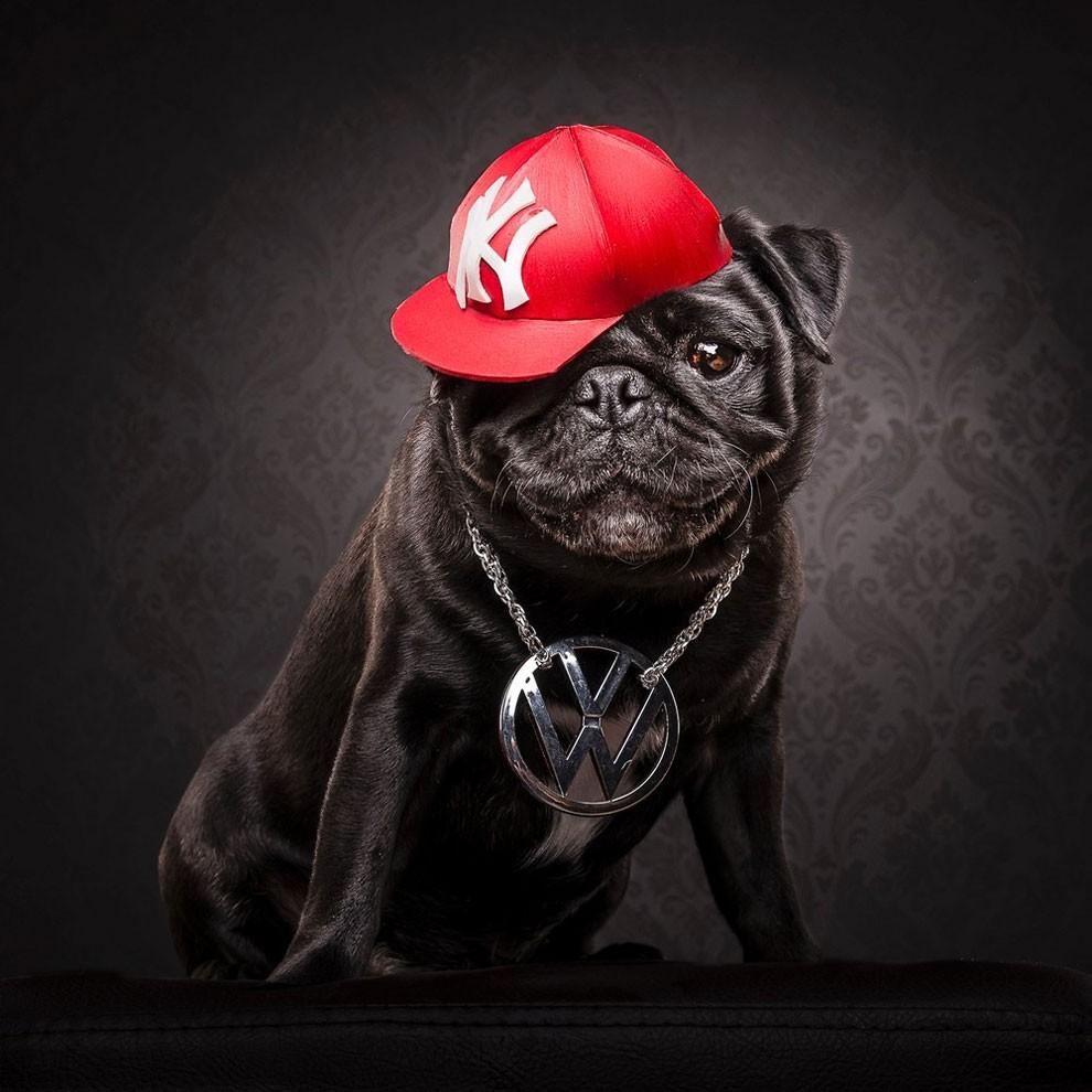 мопсы,фото, выставка собак-6