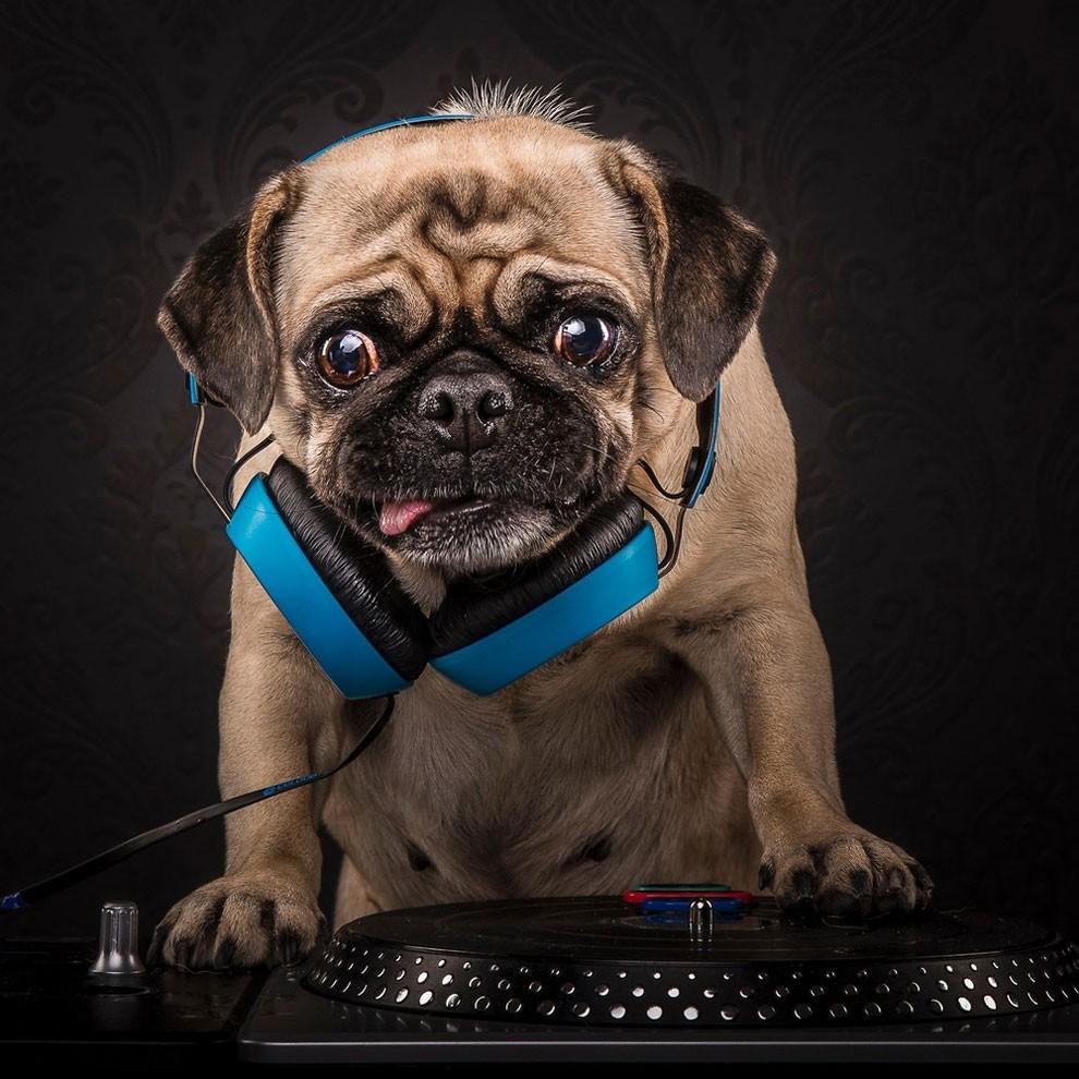 мопсы,фото, выставка собак-7