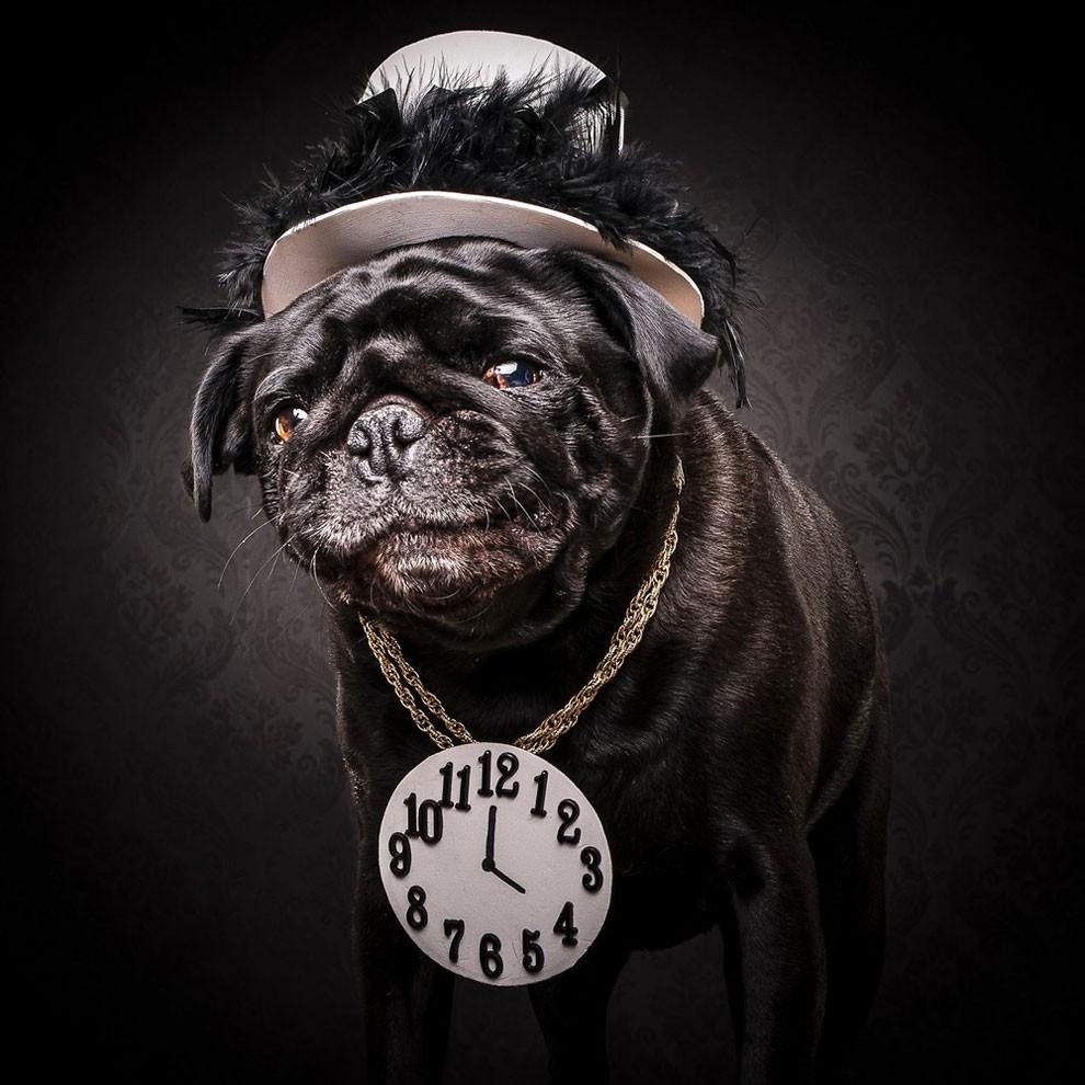 мопсы,фото, выставка собак-9