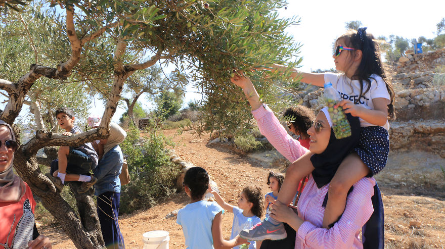 Палестина, оливки, сбор урожая, фото № 1