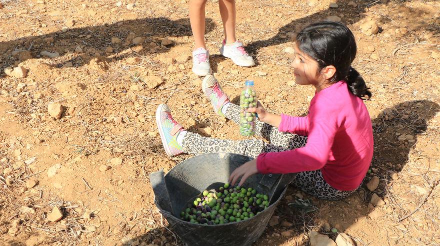 Палестина, оливки, сбор урожая, фото № 10