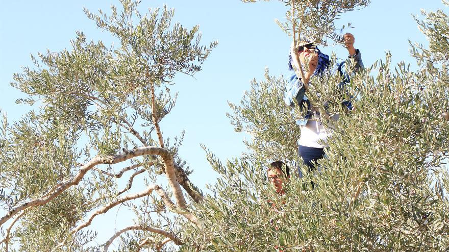 Палестина, оливки, сбор урожая, фото № 11