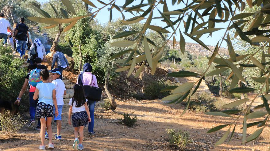 Палестина, оливки, сбор урожая, фото № 2