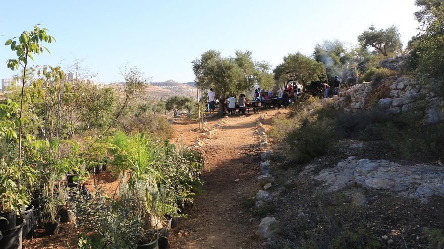 Палестина, оливки, сбор урожая, фото № 3