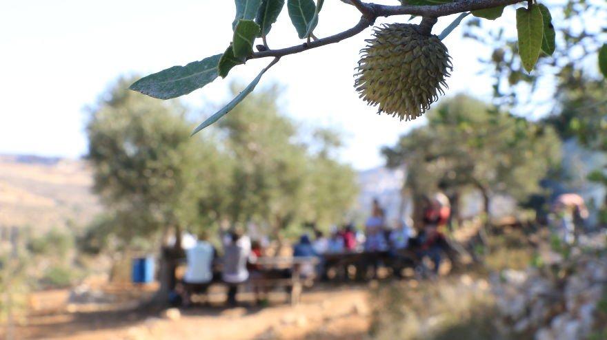 Палестина, оливки, сбор урожая, фото № 4