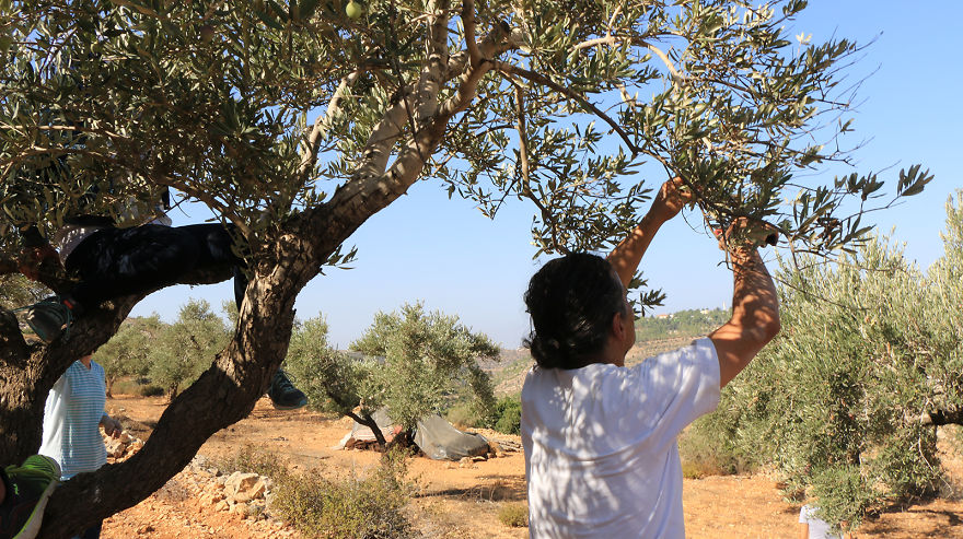 Палестина, оливки, сбор урожая, фото № 5