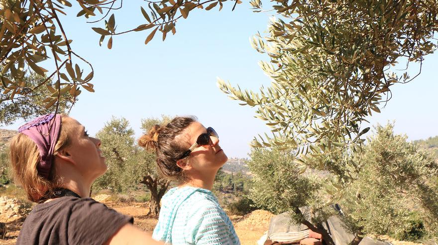 Палестина, оливки, сбор урожая, фото № 6