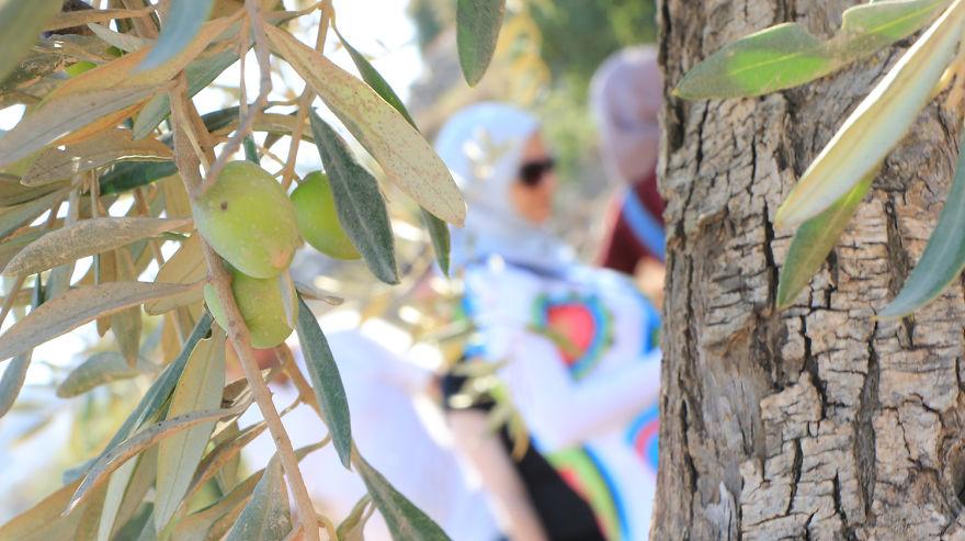 Палестина, оливки, сбор урожая, фото № 8