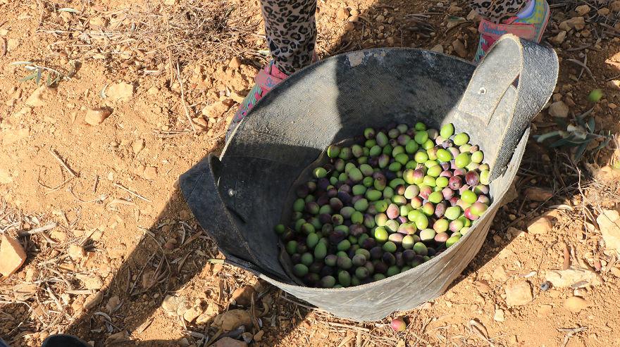 Палестина, оливки, сбор урожая, фото № 9