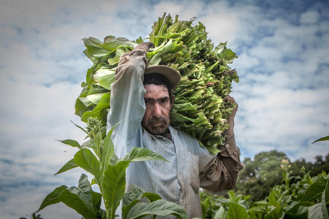 фермеры выращивающие табак, фото-1